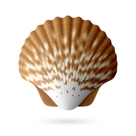 scallop shell: Scallop seashell