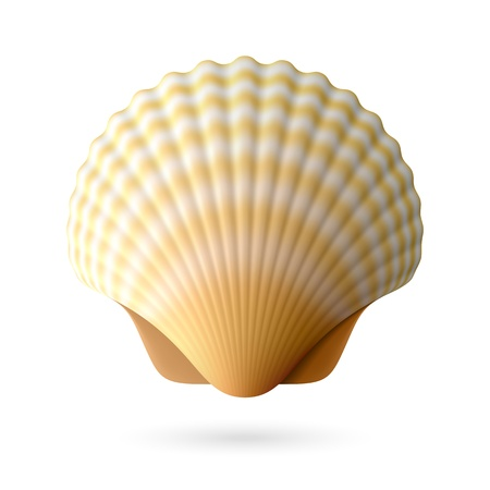 scallops: Scallop seashell