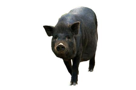 Cute black pig. African swine fever. isolate on white