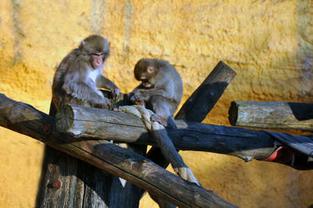 Moscow Zoo. Aviary with macaques. Monkey mom with baby