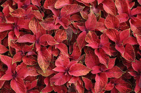 Bright red leaves of perennial plant coleus
