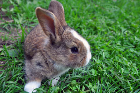 Cute Cottontail bunny rabbit munching grass in the garden, natural green  with copy space Stock Photo