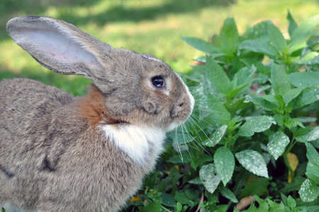 Cute gray domestic rabbit eats grass in the park. Pets