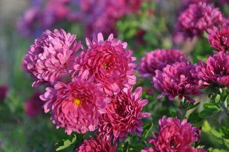 Flowers Flowers Chrysanthemum Chrysanthemum Wallpaper