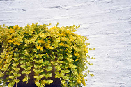 golden creeping jenny, scientific name Lysimachia nummularia, in a cache-pot against a white brick wall.
