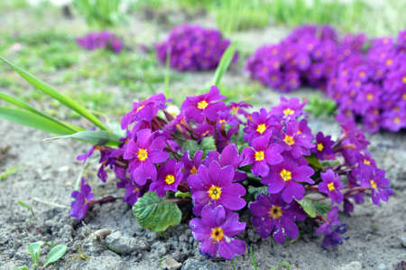 Primrose ordinary (Primula vulgaris), or primrose in the spring garden. Primroses in the spring. Beautiful lilac primrose flowers bloom garden.