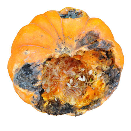 Rotten pumpkins isolated on a white background. Rotten pumpkins have dark spots and less fiber and vitamins. Spoiled pumpkin is unhealthy and contains bacteria that are dangerous.