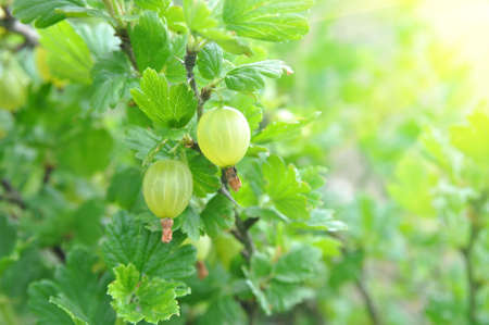 Gooseberries on a branch in the garden under the rays of the summer sun. Harvest Banque d'images