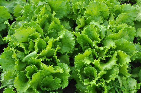 Background from leaves of green lettuce on. Plantation of lettuce leaves. Food