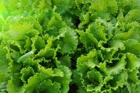 Background from leaves of green lettuce on. Plantation of lettuce leaves. flare