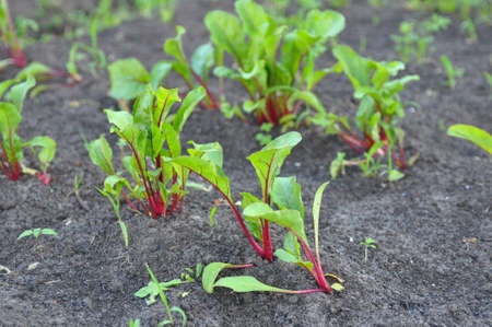 Leaf of beet root. Fresh green leaves of beetroot or beet root seedling. Row of green young beet leaves growth in organic farm. Field of beetroot foliage