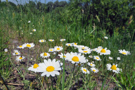 daisies on the outskirts of the meadow. Summer landscape Banque d'images