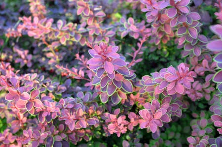 Purple background from the leaves of Japanese barberry (barberry thunbergii, thunbergs barberry, red barberry). Background, texture