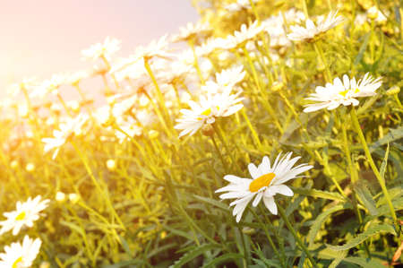 A bouquet of daisies in the light of the setting sun. Natural cute background.
