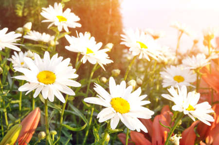 Beautiful daisy flowers with white petals. Summer wildflowers.