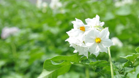 Flowering potato. Potato flowers blossom in sunlight grow in plant. White blooming potato flower on farm field. Close up organic vegetable flowers blossom growth in garden. Zdjęcie Seryjne