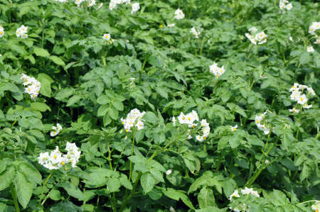 Flowering potato. Potato flowers blossom in sunlight grow in plant. White blooming potato flower on farm field. Close up organic vegetable flowers blossom growth in garden. 版權商用圖片