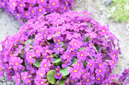 Primrose ordinary Primula vulgaris , or primrose in the spring garden. Primroses in the spring. Beautiful lilac primrose flowers bloom garden.
