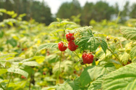 Ripe fruits on raspberry bushes in the forest. Gifts of the forest 版權商用圖片