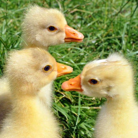 Three cute little chick goose on a background of green grass. selective focus