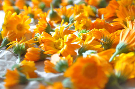 Calendula. Calendula flower collected for medicinal purposes. Out of focus, background 版權商用圖片