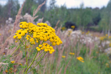Tanacetum vulgare, yellow flowers of common tansy. Medicinal plants.