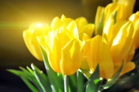 Bouquet of yellow tulips on a black background. A gift for women's day from flowers. International Women's Day. Reklamní fotografie