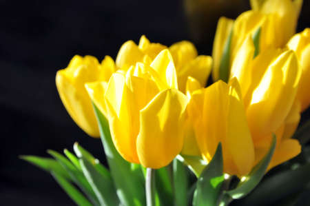 Bouquet of yellow tulips on a black background. A gift for women's day from flowers. International Women's Day. Banque d'images
