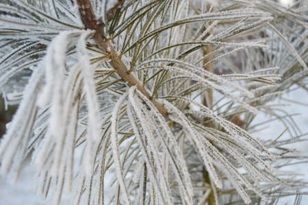 hoar frost: Beautiful close up photo of frosty plant