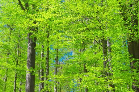 Beech trees with green leaves on branches in Slavkov thick dense foliage forest wood near Karlovy Vary (Carlsbad) town, blue sky through branches, West Bohemia, Czech Republic