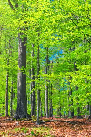 Beech trees with green leaves on branches in Slavkov thick dense foliage forest wood near Karlovy Vary (Carlsbad) town, blue sky through branches, West Bohemia, Czech Republic Banco de Imagens