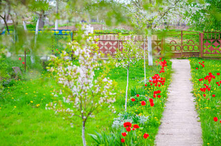 Typical village yard with green grass lawn, cement path, red flowers, cherry trees blossom and tin metal fence
