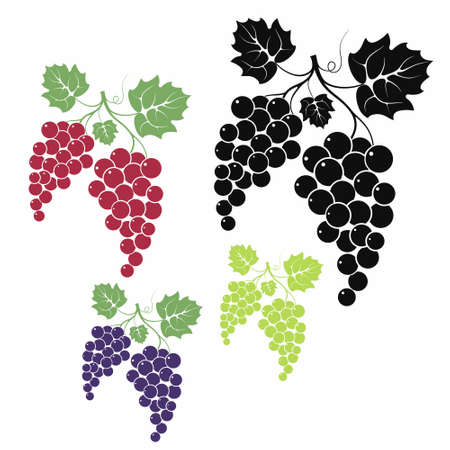 grapes in isolated:  Grape Illustration