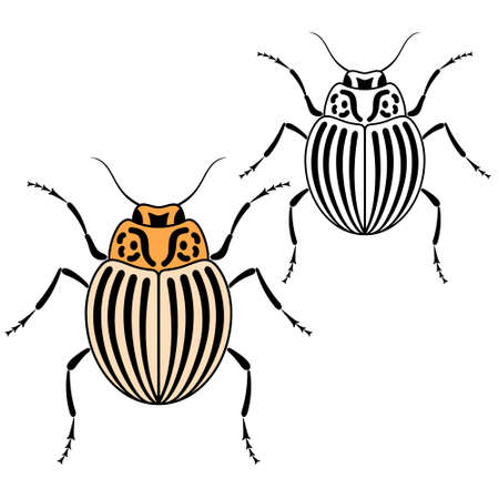 colorado: Beetle. Colorado illustration