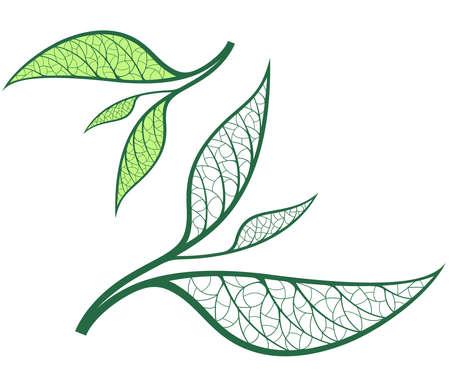 green tea leaf: Green Tea Illustration