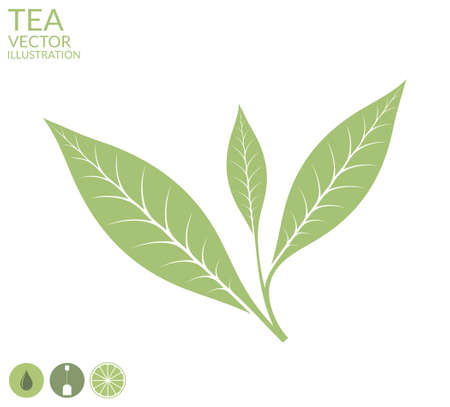 green tea leaf: Tea leaf. Isolated on white background Illustration