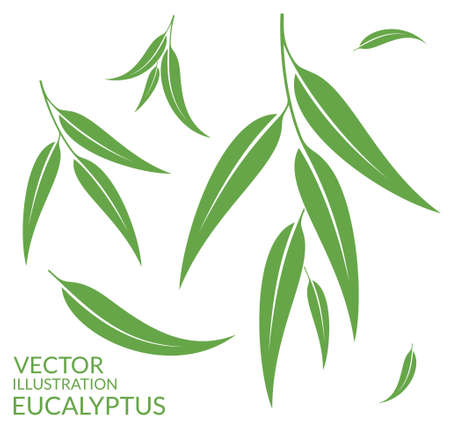 tree leaf: Eucalyptus. Isolated leaves on white background Illustration