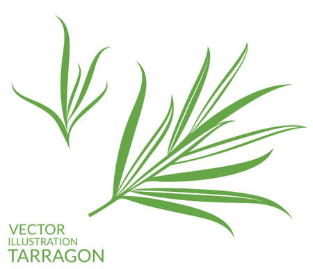 Estragon. Pojedyncze rośliny na białym tle
