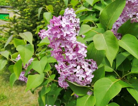 Beautiful lilac flower buds, photographed close-up, against the background of small green Christmas trees. Photo of a large bush of lilac tree. 免版税图像