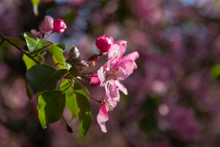 Close-up image of the beautiful pink apple flowers on a branch under the sunlight, spring blossom. Blurred background. Selective focus. Bokeh.