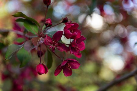 Close up image of red crab apple flowers on an apple tree in shadow in spring. Blurred Background with bokeh.