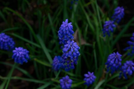 Muscari armeniacum, blue grape hyacinths is a perennial bulbous plant. Floral pattern, beautiful spring flowers in the flowerbed.