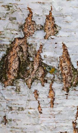 birch bark, old bark, bark long, bark with lichen