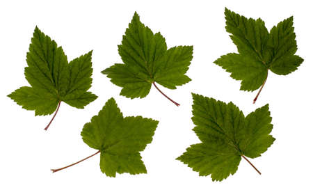 Currant leaves, black currant, leaves on a white background, isolated, Herbology