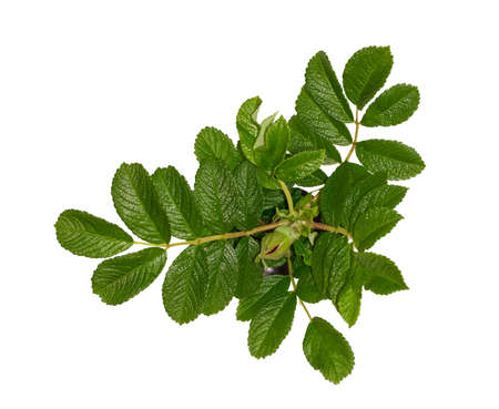 Green leaves of the wild rose. Isolate. White backgroung