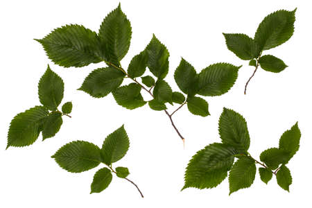 The leaves of the common hazel, hazelnut, green leaves, leaves on a white background