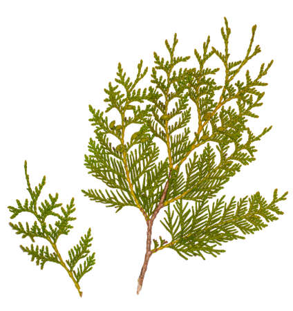 Fresh green pine leaves isolated on white background, Shoots are Cossack Juniper