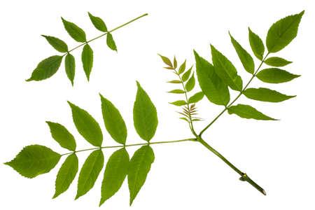 Green leaves of maple, ash-leaved Maple, Acer negundo, trash maple, shoot apex, leaves on a white background, Herbology