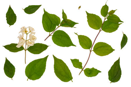 Green leaves of honeysuckle, Honeysuckle Ruprecht, leaves on a white background, Herbology