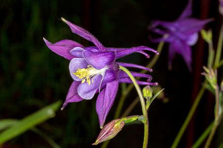 Buttercup. Aquilegia Biedermeier. Garden flower. A large purple Bud. Moscow region, Russia